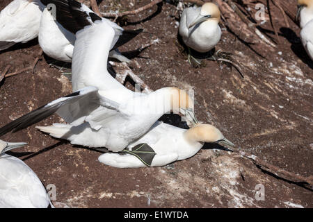Northern Gannet (Morus bassanus) pair mating in the colony at Bonaventure Island in Quebec's Parc national de - Stock Photo