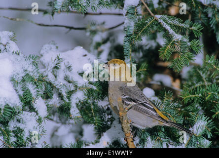 Pine Grosbeak (Pinicola enucleator) Adult Female forages in trees bushes mainly eating seeds buds berries insects. - Stock Photo