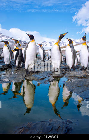 King penguins (Aptenodytes patagonicus), St. Andrews Bay, Island of South Georgia, Antarctica - Stock Photo