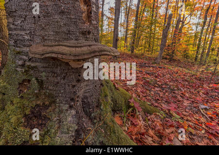 Large fungus on a stump with autumn leaves all over the ground. The colourful leaves maple aspen trees are seen - Stock Photo