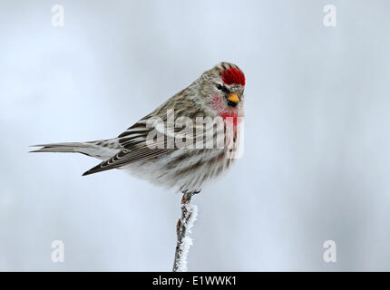 A male Common Redpoll, Acanthis flammea, perches on a frosty branch, in Saskatchewan, Canada - Stock Photo