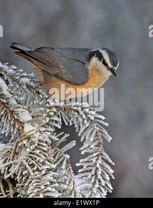 Red-breasted Nuthatch, Sitta canadensis, perched on a spruce tree, in Saskatchewan. - Stock Photo
