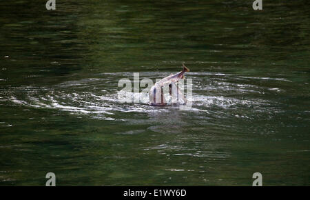 Two Harbour Seals ( Phoca vitulina ) attacking Spawning Salmon in Rainy River, Howe Sound, Sunshine Coast, B.C. - Stock Photo