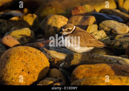 Semipalmated Plover (Charadrius semipalmatus) in winter plumage along Atlantic Ocean shore. Gros Morne National - Stock Photo