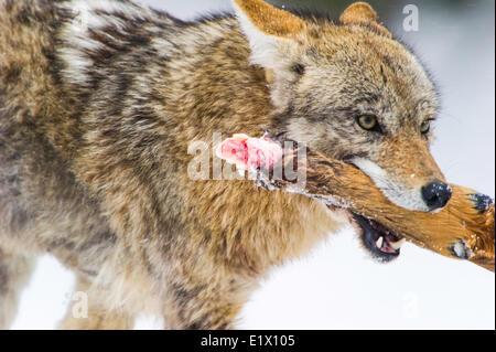 Coyote (Canis latrans) feeding on Elk foot a previous kill. Wildlife Yellowstone Park at Lamar Valley Mammoth Falls - Stock Photo