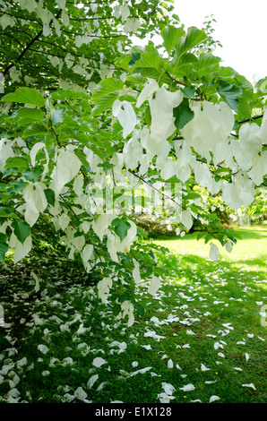 Davidia involucrata dove tree, handkerchief tree, pocket handkerchief tree, ghost tree - Stock Photo
