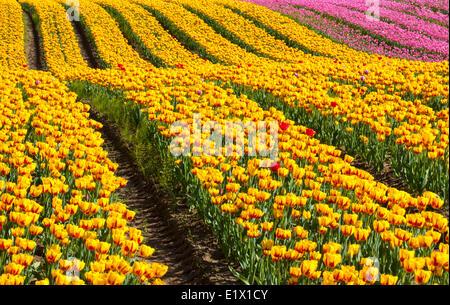 Tulip fields in bloom, Fraser Valley, British Columbia, Mt Cheam behind - Stock Photo