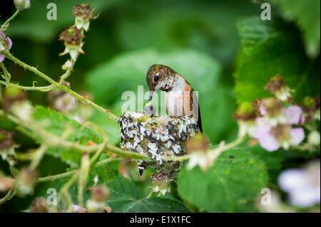 Rufous has two baby humming bird (selasphorus rufus) birds in the nest, Ladner, British Columbia - Stock Photo