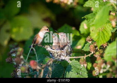 Two baby humming (selasphorus rufus) birds in their nest.They are almost ready to leave the nest.Steveston, British - Stock Photo