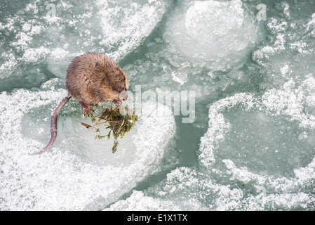 Muskrat, Ondatra zibethicus, eating algae on the icy shore of Okanagan Lake in Penticton, British Columbia, Canada. - Stock Photo