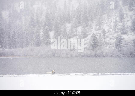Lone Trumpeter Swan Cygnus buccinator on Vaseux Lake in the winter during a snow storm in Okanagan Falls British - Stock Photo