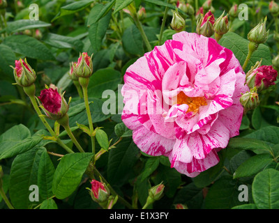 Flower and buds of the antique rose Rosa Gallica Versicolour, striking old rose in the Gallica group. - Stock Photo