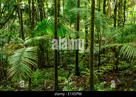 Forest scene, Caribbean National Forest (El Yunque rain forest), Puerto Rico - Stock Photo