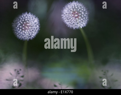 Two dandelions in a garden. Original name: 'Garden of my baby' - Stock Photo