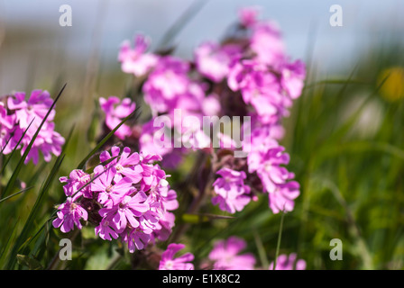 Red Campion, silene dioica, I think, showing lovely in the summer sunshine - Stock Photo