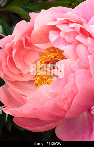 Single flower of the peony, Paeonia 'Coral Charm'