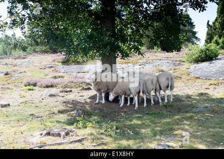 Swedish sheep resting in the shadow of a tree on a sunny day - Stock Photo