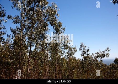 eucalyptus forest los pellines chile - Stock Photo
