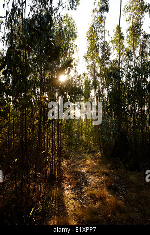 sun setting through eucalyptus forest los pellines chile - Stock Photo