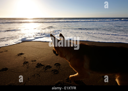german shepherd dog looking at sun setting over sandy beach on the pacific ocean los pellines chile - Stock Photo