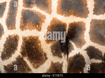Giraffe brown skin pattern background closeup shot. - Stock Photo