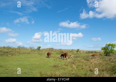 Grazing Herford cows on Dutch wadden island Terschelling - Stock Photo