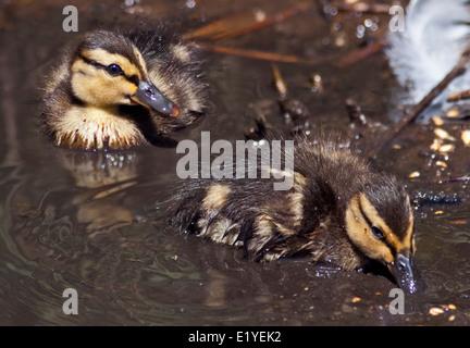 Two Mallard Ducklings (anas platyrhynchos) swimming - Stock Photo