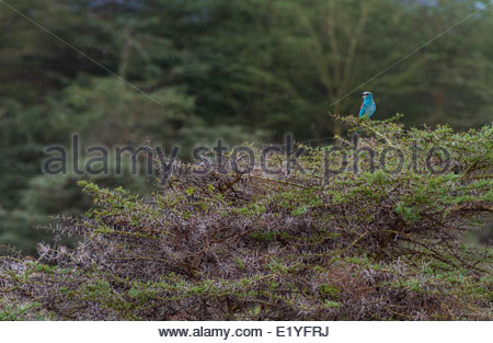 Bird perching on thorny bush - East Africa - Tanzania - Lake Manyara National Park - Stock Photo