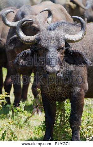 Buffaloes standing on grass - East Africa - Tanzania - Stock Photo