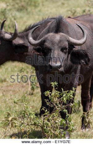 African Buffalo Staring Directly At Camera, Serengeti National Park, Tanzania, Africa - Stock Photo