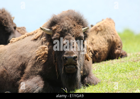 Bison laying in a field - Stock Photo