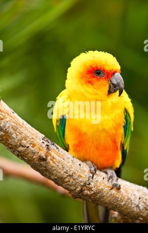 Sun Parakeet or Sun Conure (Aratinga solstitialis) - Stock Photo