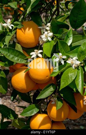 oranges and orange blossom - Stock Photo