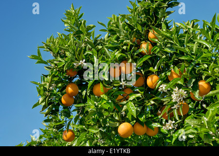oranges and orange blossom on the tree - Stock Photo