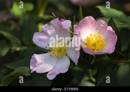 Rosa canina. Dog rose in flower. - Stock Photo