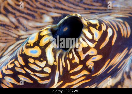 Blowhole of a Giant Clam (Tridacna gigas), Sabang Beach, Puerto Galera, Mindoro, Philippines - Stock Photo