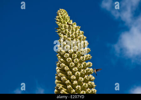 Queen of the Andes (Puya raimondii), inflorescences about 8m high, highest inflorescence in the world, national - Stock Photo