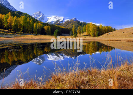 Autumnal larch forest reflected in Lake Schwarzsee or Lai Nair, Scuol, Engadin, Graubünden, Switzerland - Stock Photo