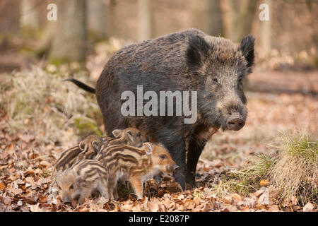 Wild Boars (Sus scrofa), sow and piglets, captive, North Rhine-Westphalia, Germany - Stock Photo