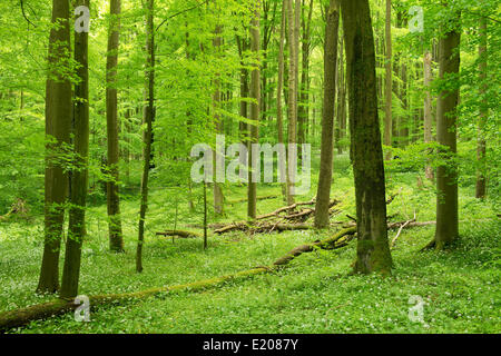 European Beech or Common Beech forest (Fagus sylvatica) in spring, Hainich National Park, Thuringia, Germany - Stock Photo