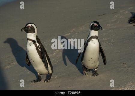 Jackass Penguins or African Penguins (Spheniscus demersus), pair on a beach, Boulders Beach, Simon's Town, Western - Stock Photo