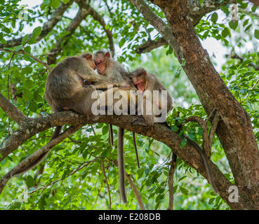 Family of rhesus monkeys (Macaca mulatta), Mudumalai Wildlife Sanctuary, Tamil Nadu, India - Stock Photo