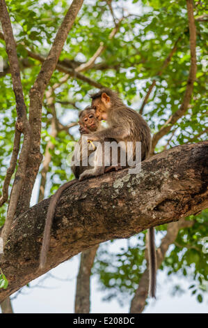 Two rhesus monkeys (Macaca mulatta), juveniles, Mudumalai Wildlife Sanctuary, Tamil Nadu, India - Stock Photo