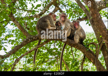 Family of rhesus monkeys (Macaca mulatta) with young, Mudumalai Wildlife Sanctuary, Tamil Nadu, India - Stock Photo