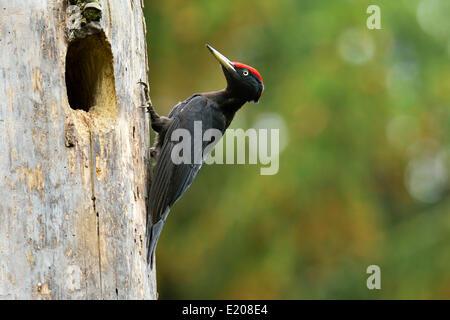 Black Woodpecker (Dryocopus martius) at the nest hole, Biebrza National Park, Poland - Stock Photo
