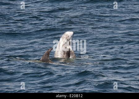 Risso's Dolphin (Grampus griseus) spyhopping. Monterey, California, Pacific Ocean. - Stock Photo