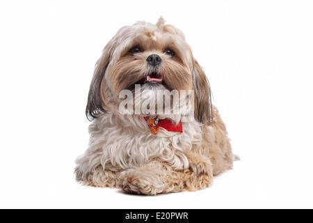 boomer, mixed breed dog - Stock Photo