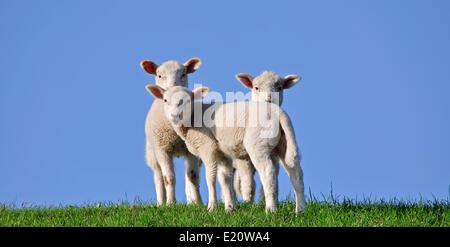 Lambs on a North Sea Dyke - Stock Photo