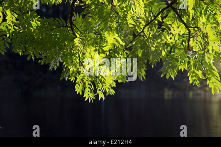 Rowan ( sorbus aucuparia ) branches with green leaves - Stock Photo