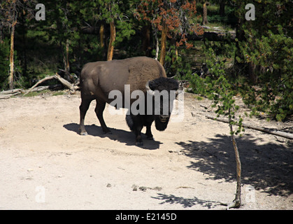 Wild bison in Yellowstone national park - Stock Photo